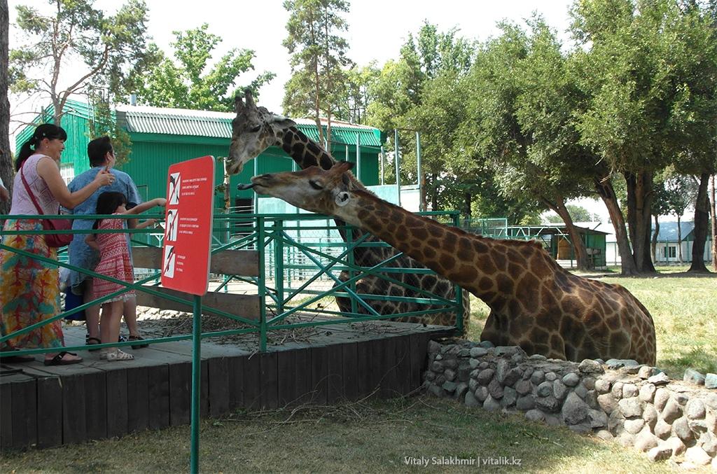 Жирафы в алматинском зоопарке 2018