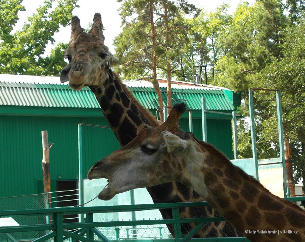 Жирафы зоопарка Алматы 2018
