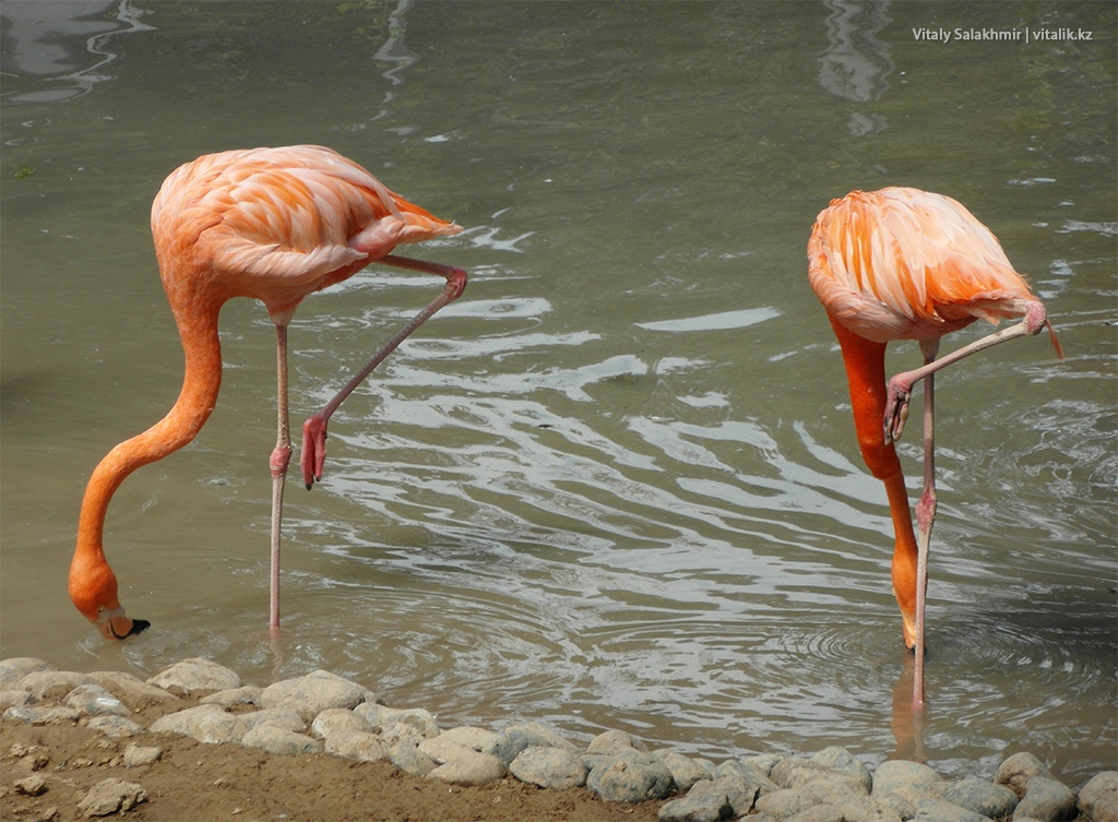 Красный фламинго, зоопарк Алматы 2018