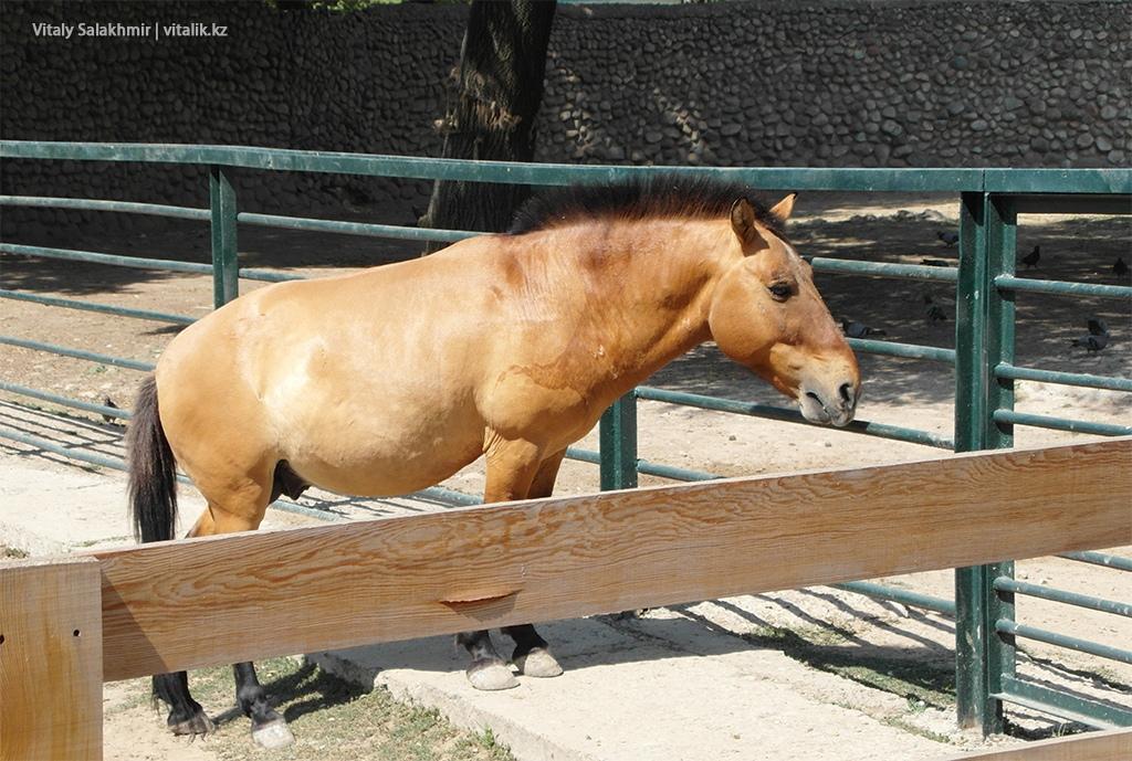 Лошадь Пржвальского, зоопарк Алматы 2018