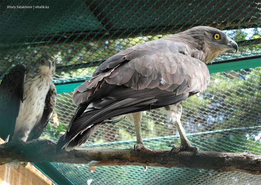 Обыкновенный змееяд, зоопарк Алматы 2018