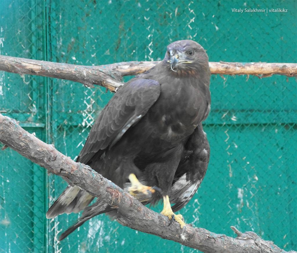 Обыкновенный канюк в зоопарке Алматы 2018