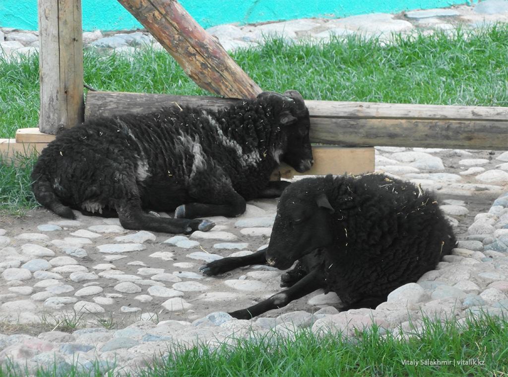 Овцы в зоопарке Алматы 2018