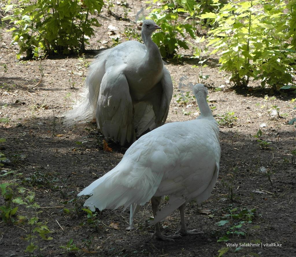 Павлины в алматинском зоопарке 2018