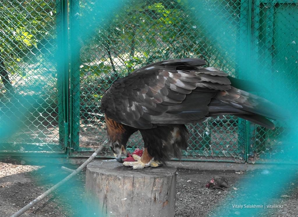 Птица ест мясо, зоопарк Алматы 2018
