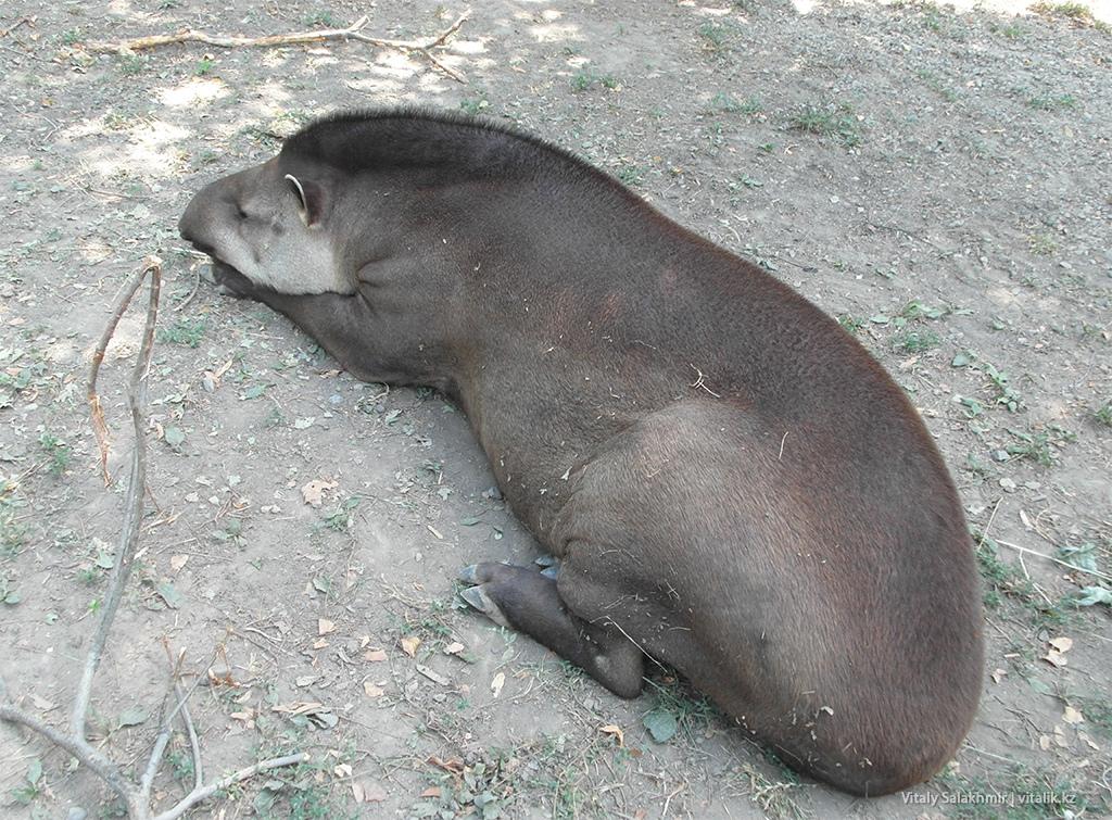 Равнинный тапир, зоопарк Алматы 2018