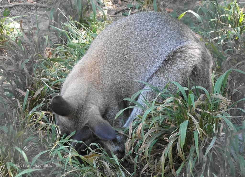 Серый кенгуру, зоопарк Алматы 2018