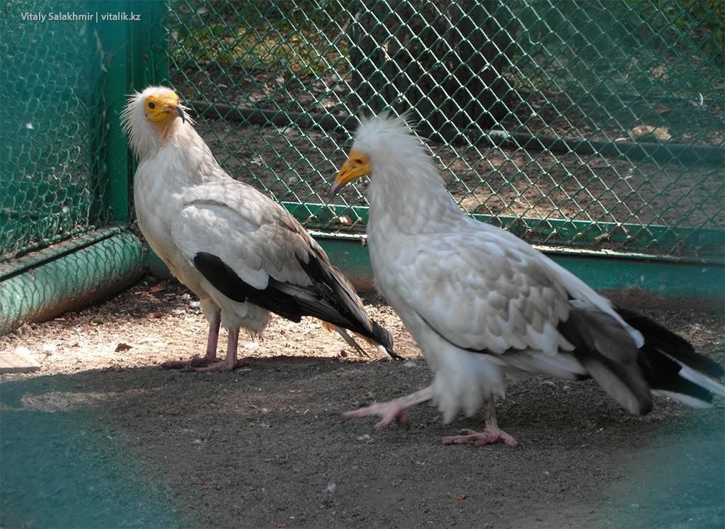 Стервятник в зоопарке Алматы
