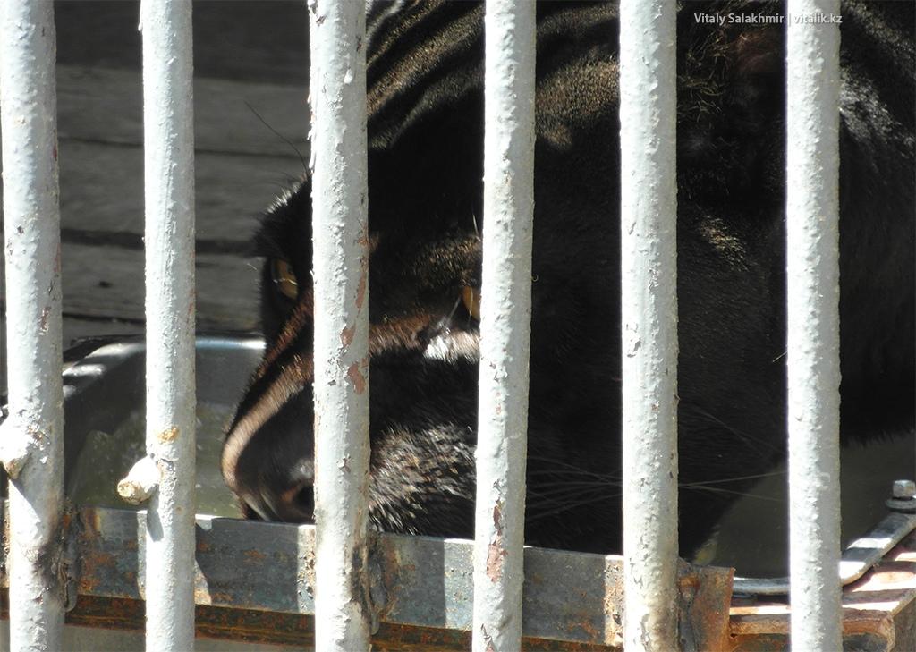 Черная пантера в алматинском зоопарке 2018
