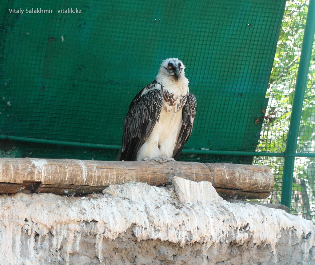 Ястреб перепелятник, зоопарк Алматы 2018