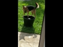 Dog falls in bucket of water