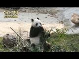 Четырех гигантских панд перевели в новый вольер зоопарка г. Шэньян