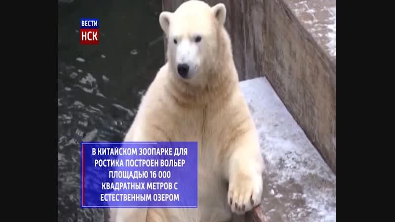 Белый медвежонок Ростик отправился жить в Китай
