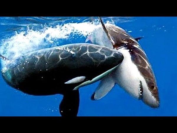 КИТ УБИЙЦА - КАСАТКА ХИЩНИК Супер Хищники ! Военное Кино HD Video Killer whale The super predators !