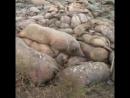 All pigs must die