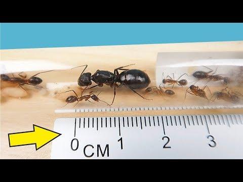 Я завел Огромных Агрессивных и Кусючих Африканских муравьев alex boyko