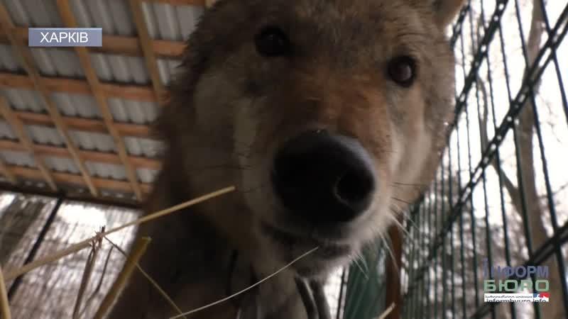 Врятований від ланцюга як звільняли вовка та де він зараз