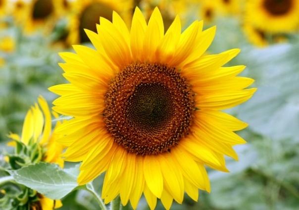 Подсолнечник - цветок солнца