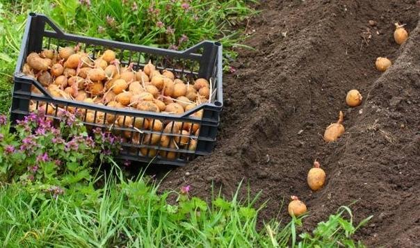 Картофель сажаю лентами
