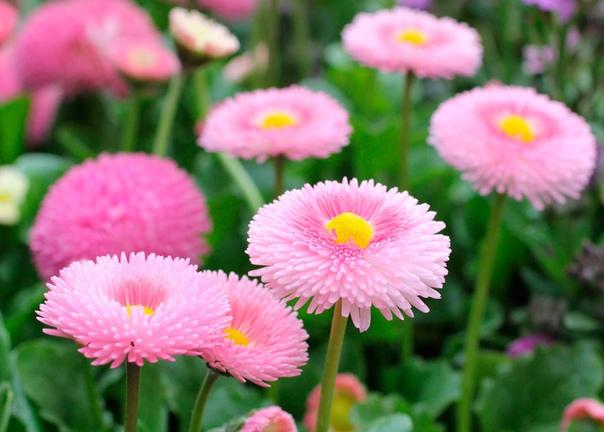 Двулетники в апреле В начале апреля уделите время двулетним растениям маргаритке, виоле, незабудке, наперстянке, шток-розе, а также примулам. При перепадах ночных и дневных температур иногда