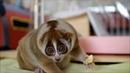 Лемур ест банан. Лемуры – самые милые животные в мире.