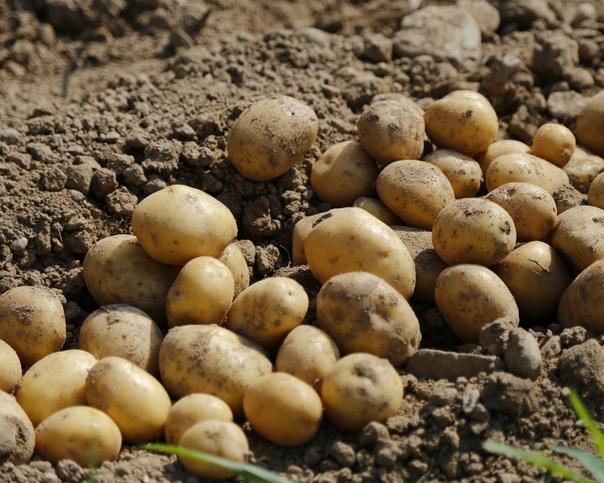 Картофель по плану Хороший урожай картофеля получится, если руководствоваться рекомендациями специалистов и следовать определенному плану. Важная стадия Перед посадкой картофель должен пройти