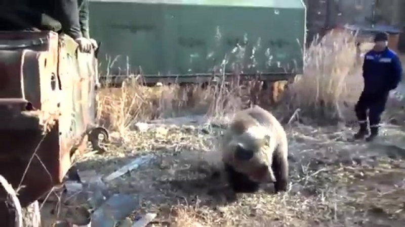 Вахтовики сняли уникальное видео о невероятно добродушном диком медведе. Это луч