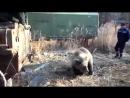 Вахтовики сняли уникальное видео о невероятно добродушном диком медведе Это луч