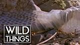 Rattlesnake Shedding Her Skin Wild Things