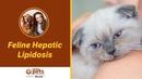 Липидоз печени у кошек / Feline Hepatic Lipidosis