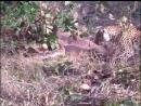 Леопард против питона!