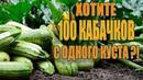 100 КАБАЧКОВ С ОДНОГО КУСТА ЕСЛИ СДЕЛАТЬ ЭТО