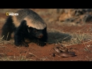 История одного медоеда _ NAT GEO WILD. Ultimate Honey Badger