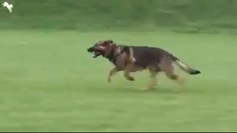 Собачий дрифт) (смешное видео, хорошее настроение, юмор, собаки, собака, пёс, животные, бег, спорт, прыгает, гонка, гончая).