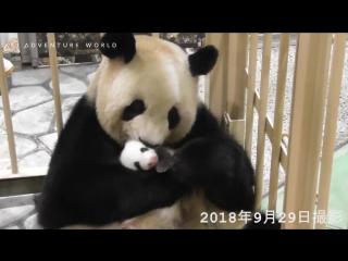 мама панда облизывает своего детёныша