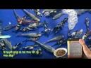 Bí quyết cho cá koi mau lớn màu da cực đẹp - hồ cá nhỏ gần 100tr (Feeding Koi Fish)