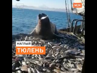 Наглый тюлень — Москва 24
