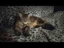 АСМР мурлыканье кошки Моя кошка ASMR cat's purr My cat