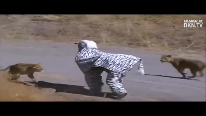Два парня переоделись в зебру