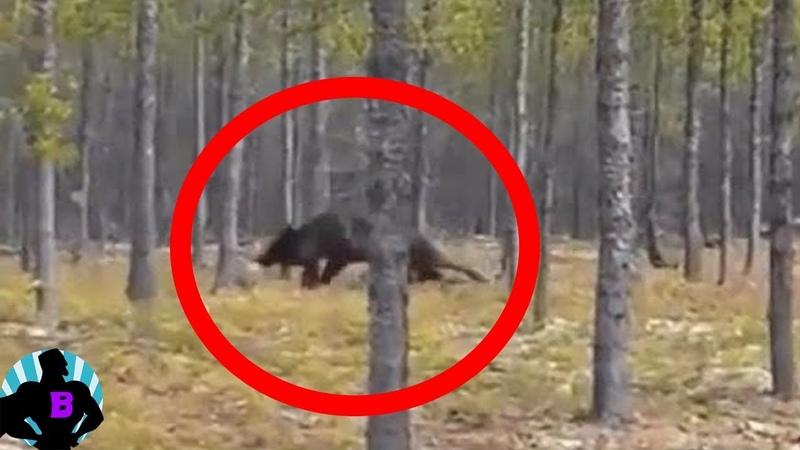 Страшный гигантский волк или оборотень ? Реальные кадры охотника