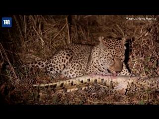 Леопард убил детёныша нильского крокодила