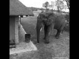 This elephant was caught on camera tidying up trash