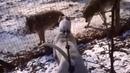 Cuando el Dogo Argentino ve a los lobos