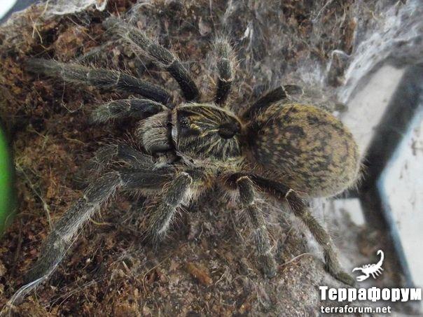 Ceratogyrus-marshalli