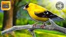 Бесподобное Пение Птиц в Лесу Без Музыки Для Расслабления и Сна