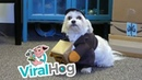 собака почтальон || ViralHog