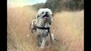 Жизнь китайской хохлатой собаки-инвалида