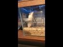 One hamster runs in wheel, the other just turns it with its hands