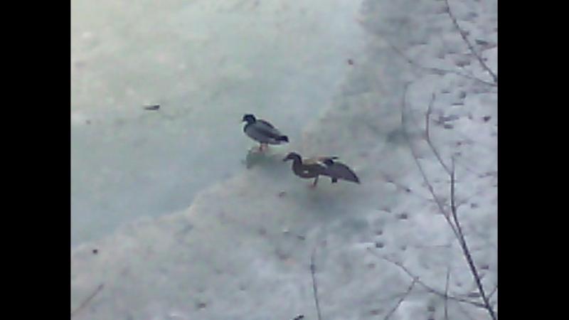 Утки на замерзшем пруду