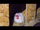 КУРЫ НЕСУТСЯ🐔 ДАЖЕ КОГДА СОВСЕМ ХОЛОДНО⛄! МЫ КОРМИМ ТОЛЬКО ЗЕРНОМ🌾Пробиотики для птиц.